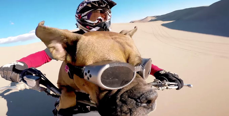 Boxer Pooch Loves Dirt Bikes And Sand Dunes | Blue Lion TV