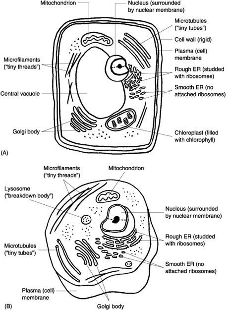 typical plant and animal cell diagram and coloring