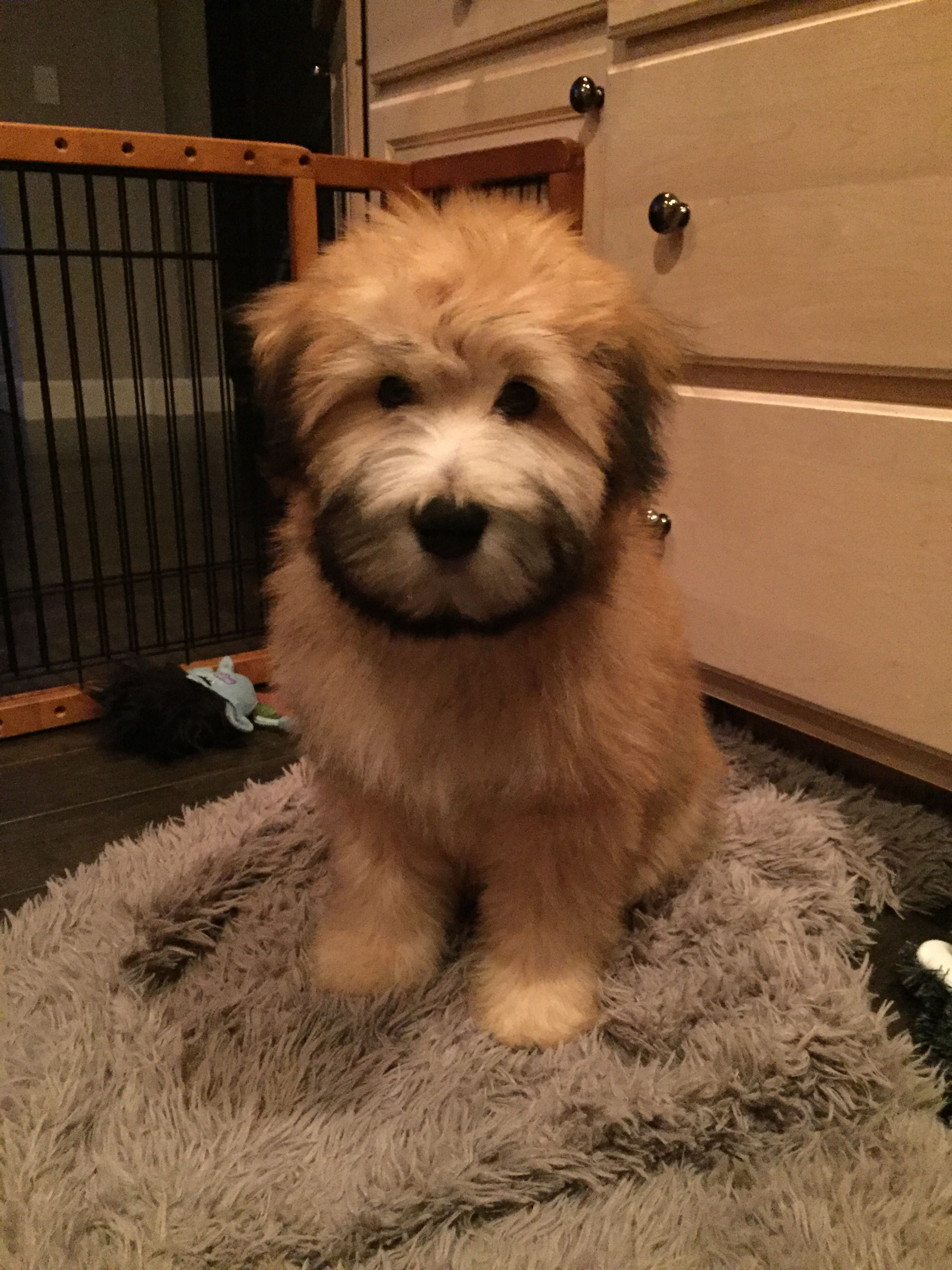 My Fozzie Bear Soft Coated Wheaten Terrier Cute Dog Pictures