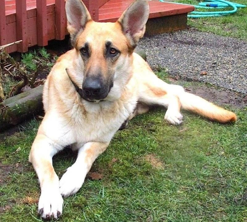 Adopt Casimira On Rescues German Shepherd Dogs Dogs Shepherd Dog