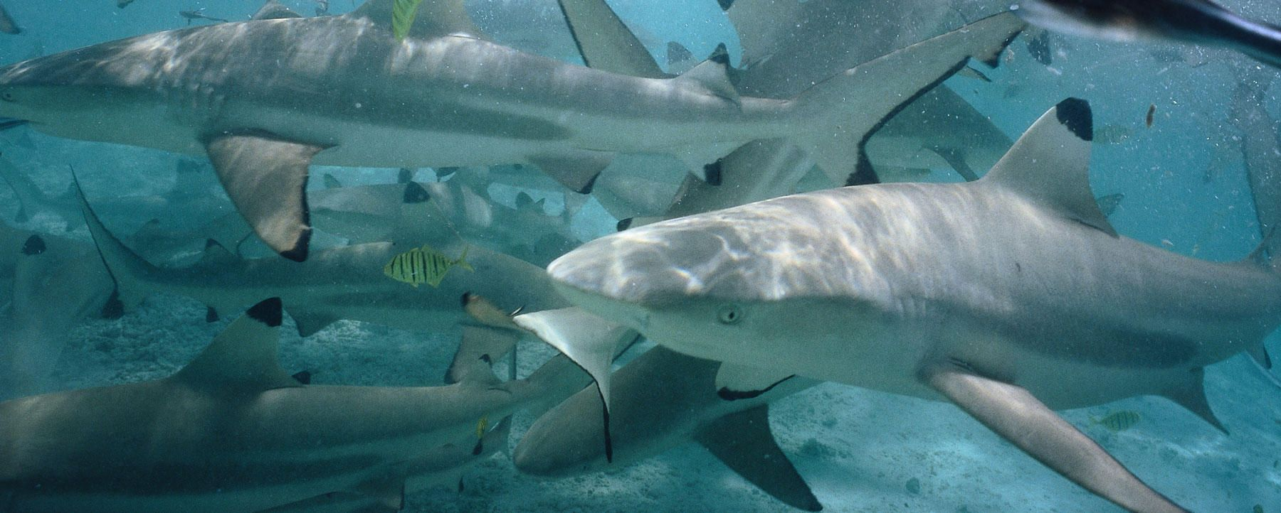 Study: Heavy Sediment Runoff Damages Shark and Fish Gills