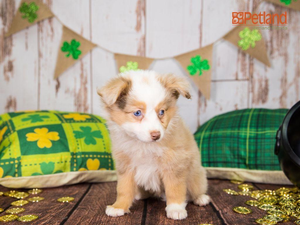 Puppies For Sale Australian Shepherd Puppies Cute Memes Puppies