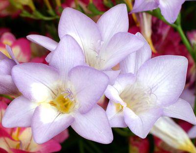Jenny Flowers Encyclopedia Flowers Herbs Plants Flower Delivery Jenny Flowers Flowers