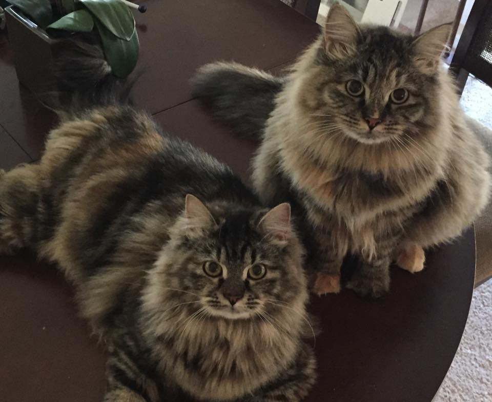 No cat Allergies to Hypo Allergenic Siberian Cats