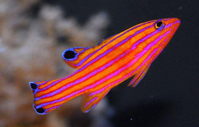 Фото - Редких тропических рыб научились разводить в неволе ...