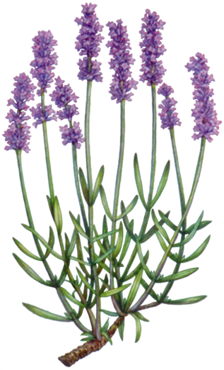 botanical illustration of lavender with eight purple