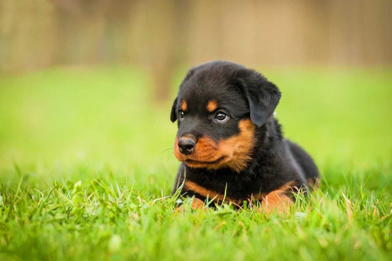 Photos Of Rottweiler Dog Breed Animal Hd Puppy Wallpaper Full Pics