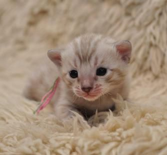 Pocket Leopards Snow Bengal Kittens For Sale Bengal Kitten Bengal Kittens For Sale Kittens