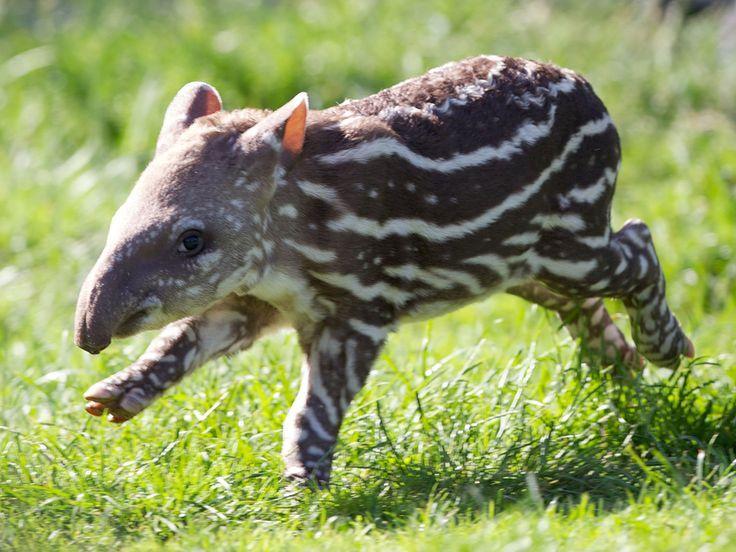 Spotted! Dublin Zoo welcomes adorable baby tapir - Chimäre und außergewöhnliche genetische Konstellationen Spotted! Dublin Zoo welcomes adorable baby tapir  - Chimäre und außergewöhnliche genetische Konstellationen -
