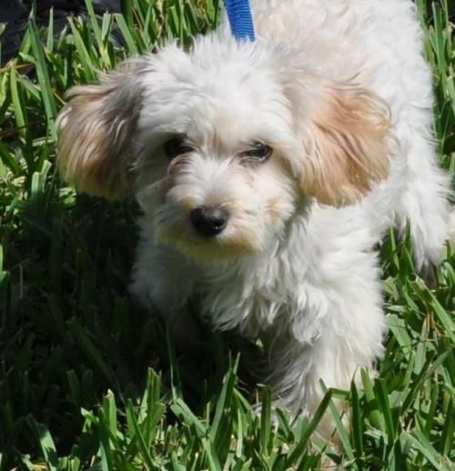 Maltese Puppy For Sale In Los Angeles Ca Adn 50594 On