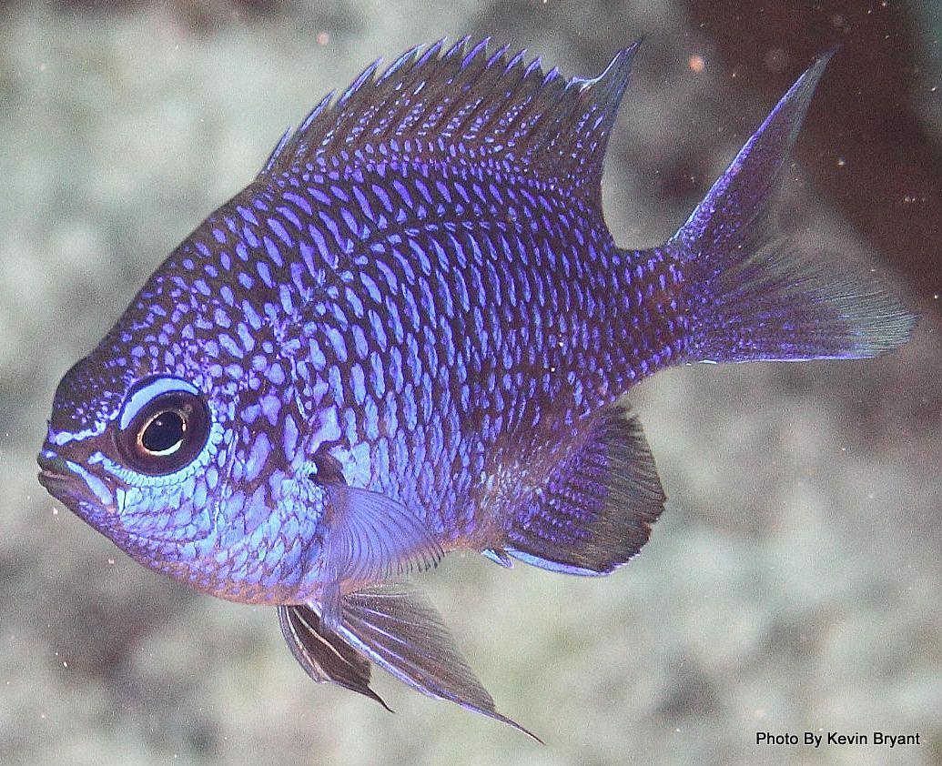 Purple Chromis (Chromis scotti)