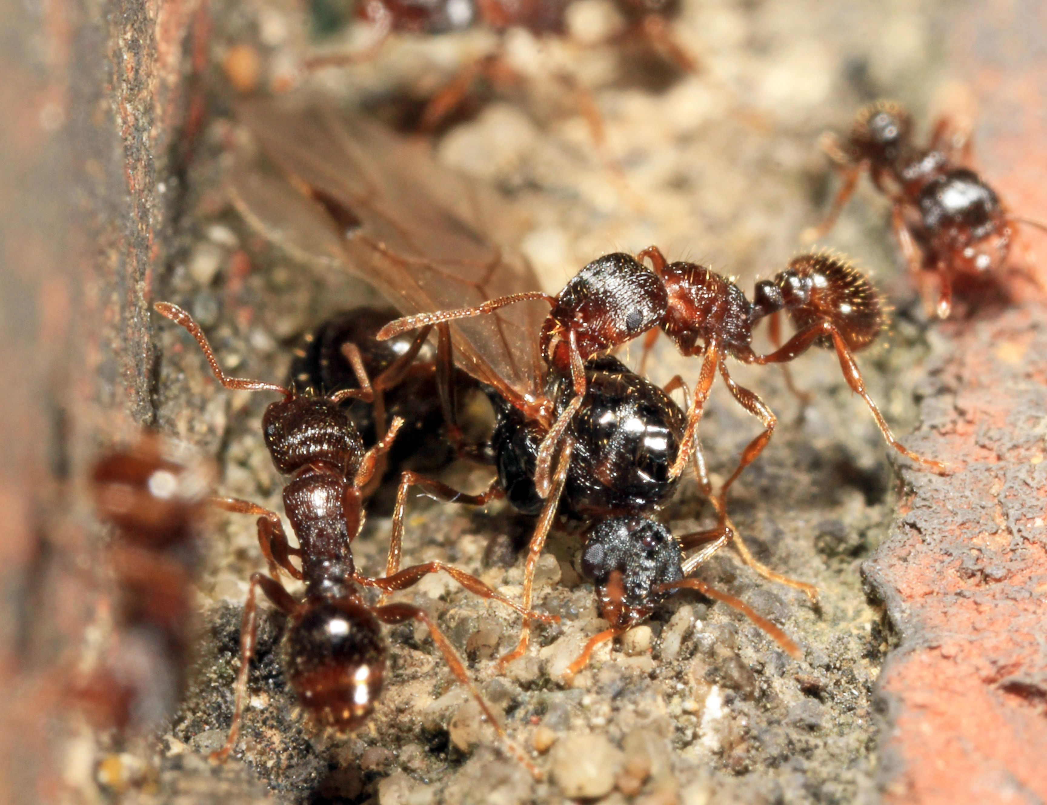 Learn More About Common Small Ants   Pest Identification   Pinterest ...