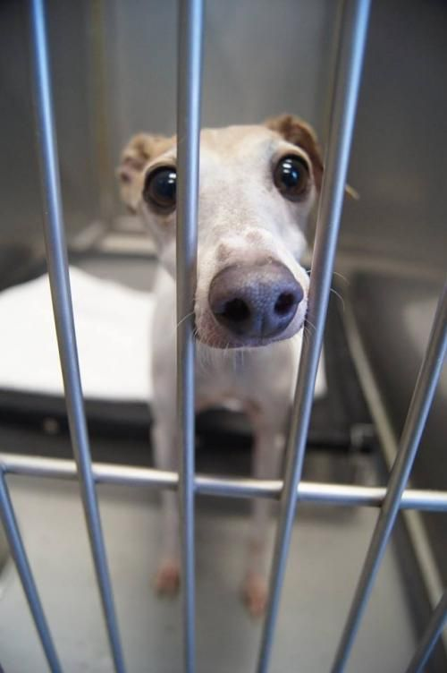 Adopt Hank On Italian Greyhound Dog Grey Hound Dog Dogs And Puppies