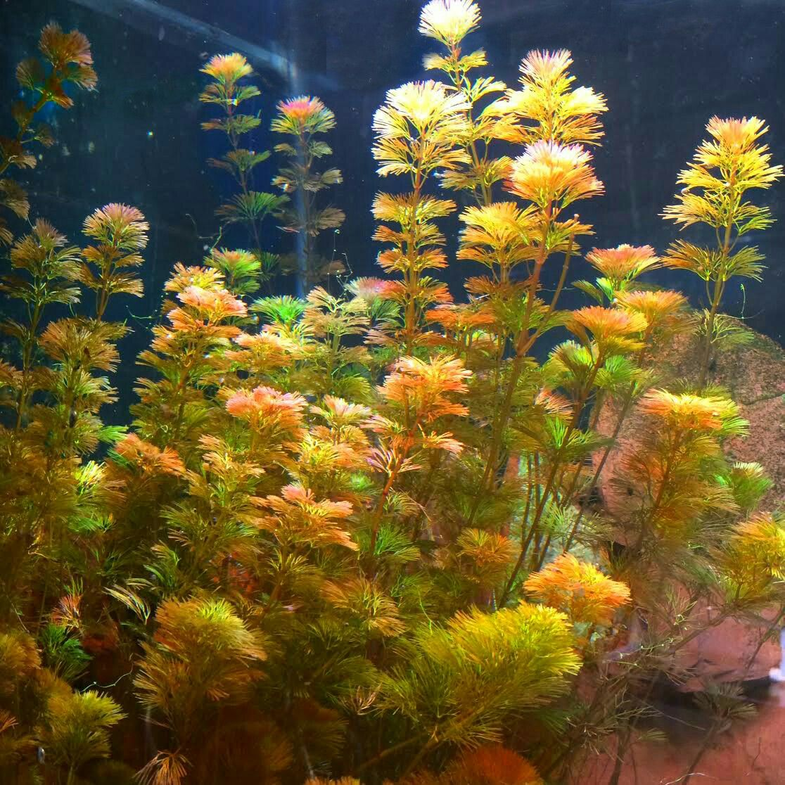 Red Cabomba (Cabomba furcata) (Currently Unavailabl… | Freshwater ...