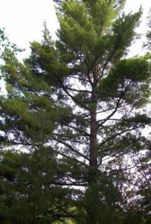 the eastern white pine is the state tree of maine and michigan it