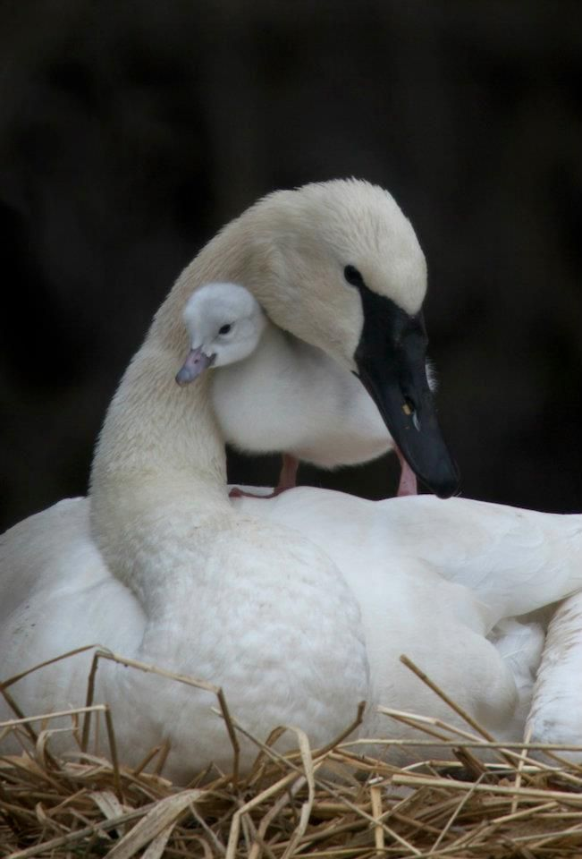 A picture from my brother-in-law who works with trumpeter swans in Wyoming. - Precious!