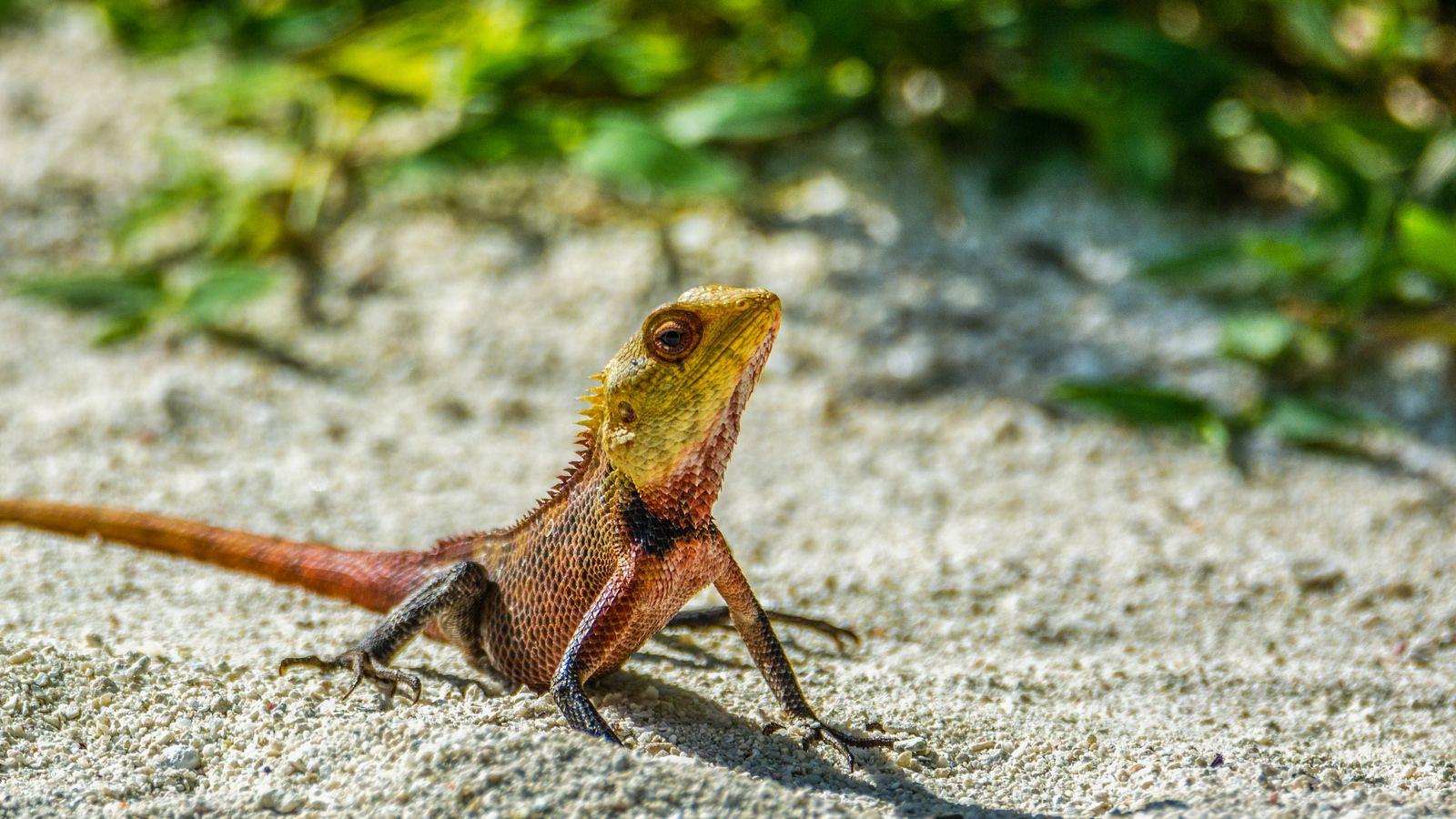 oriental garden lizard in maldives (explored) | reptiles