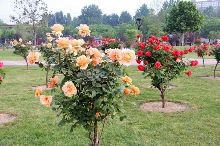 China big rose tree rose garden pinterest for Garden rose trees
