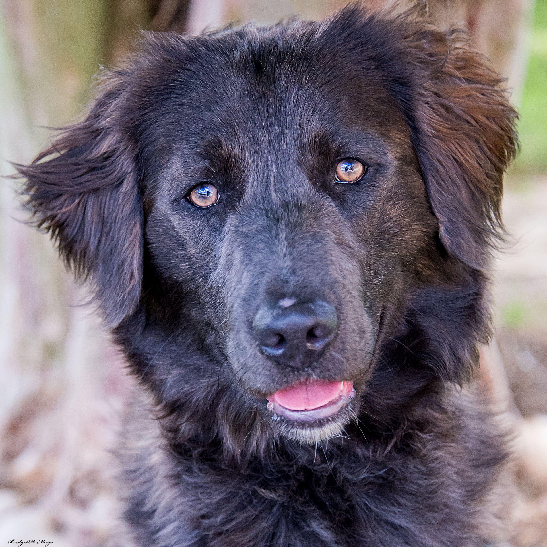 Adopt Celia on Cute doggos Rescue dogs, Flat coated
