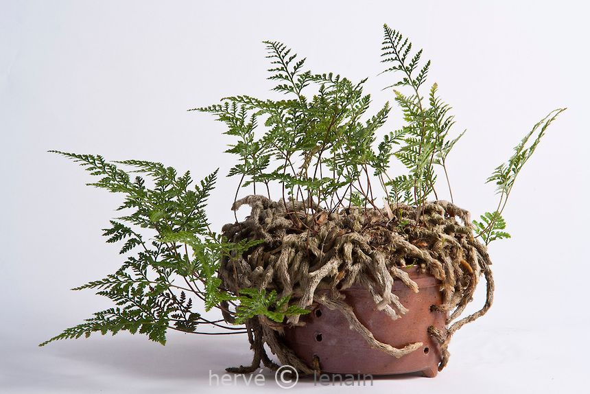 Fougere patte de lapin davallia mariesii plante for Fougere interieur