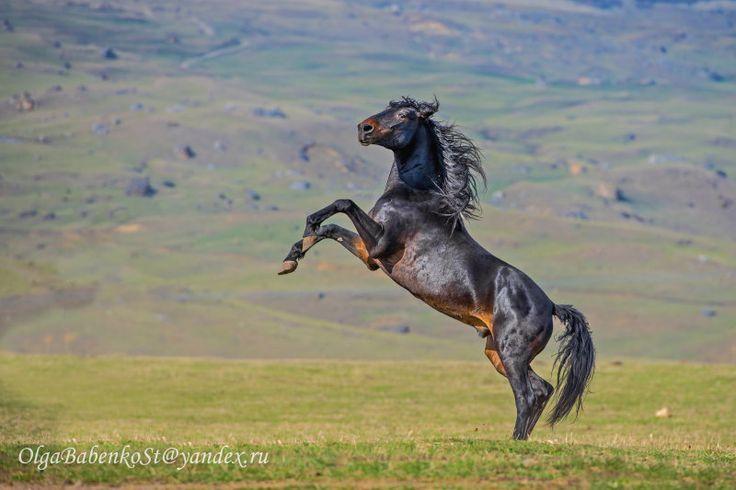 KARACHAY horse