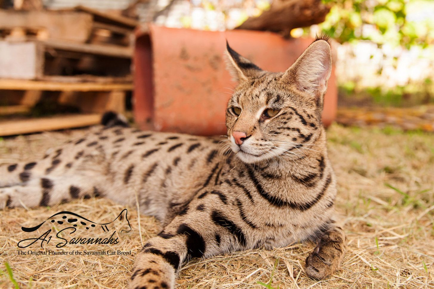 9 Serval Mixed With Domestic Cat Image In 2020 Savannah Cat Savannah Cat For Sale Savannah Cat Price