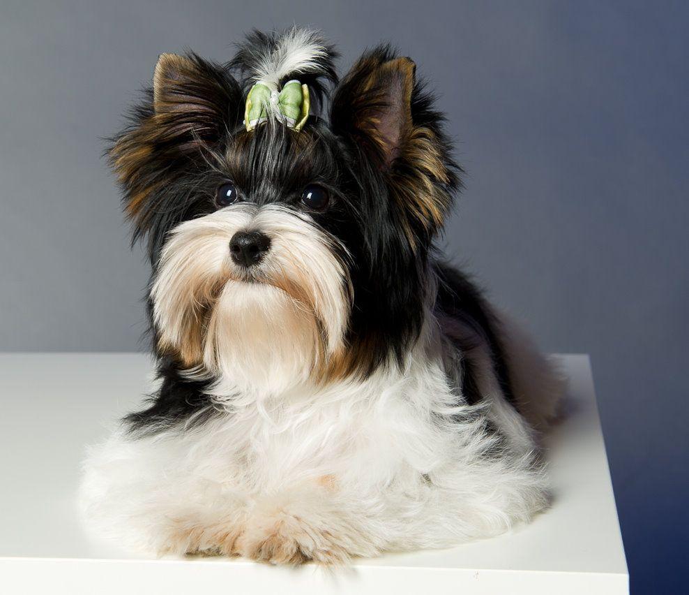 Biewer Yorkshire Terrier Google Search Yorkie Pinterest