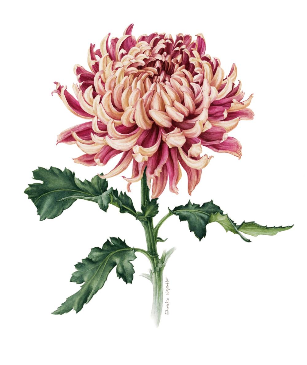 Crisantemo Japones Eunike Nugroho In 2020 Flower Drawing Japanese Chrysanthemum Birth Flower Tattoos