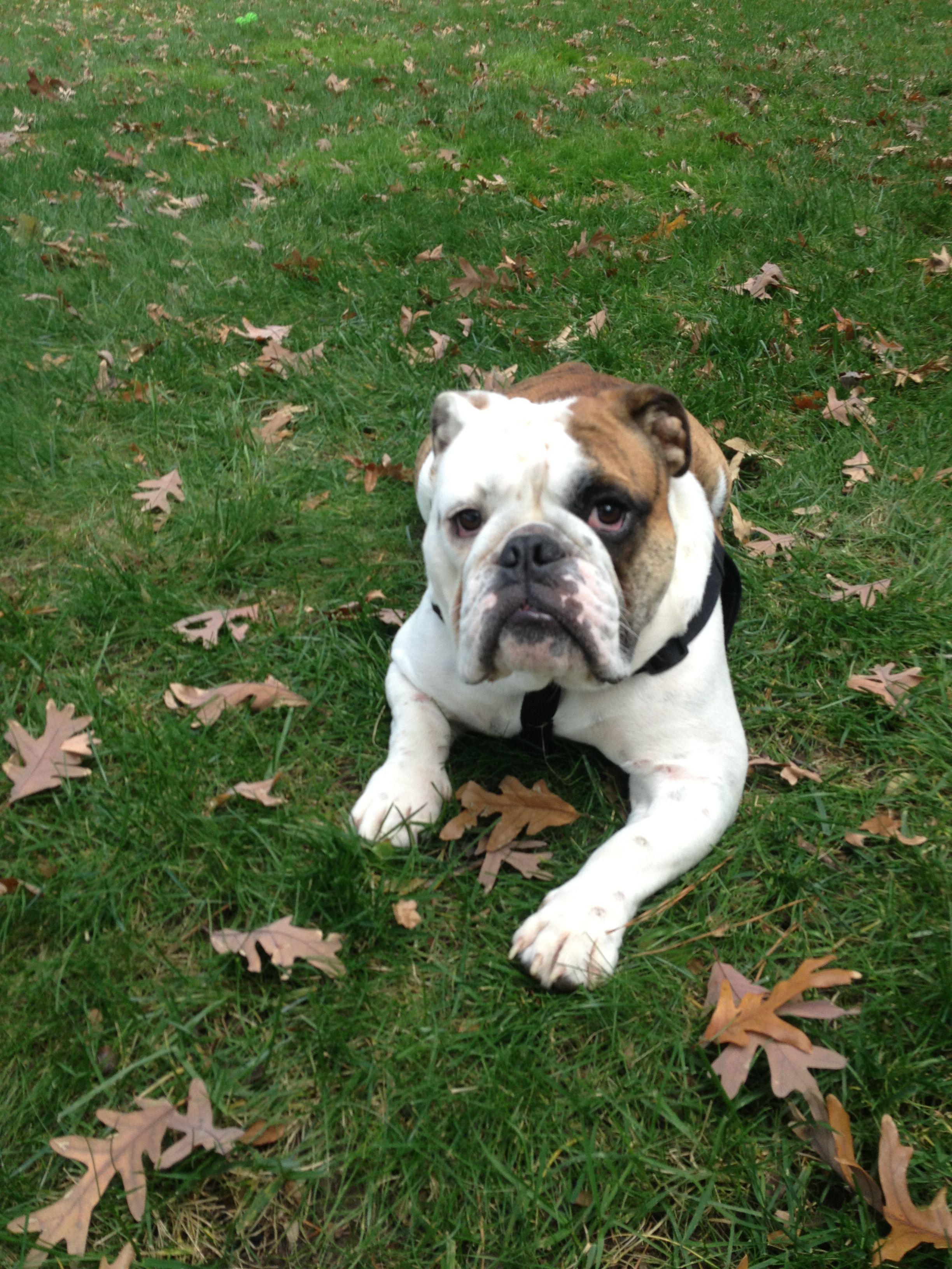 Bo S Sibling Bulldog Animals French Bulldog