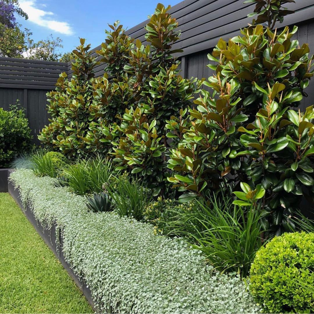 """Exotic Nurseries on Instagram: """"Beautiful layers  Magnolia Teddy Bear, Lomandra Lime Tuff, Dichondra Silver Falls with Agave Blue Glow popping!  Designed by…"""" -   12 garden design Contemporary landscaping ideas"""