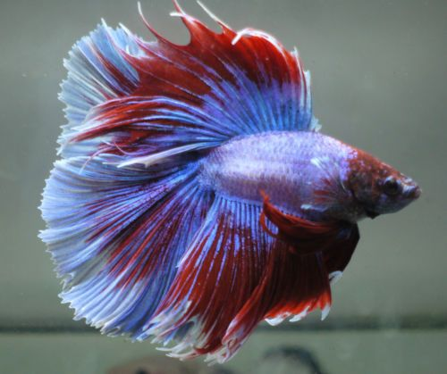 Betta Tropical Fish | Live Tropical Fish Doubletail Halfmoon Betta I9 Big Fins Betta