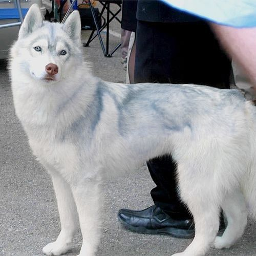 Omg I Want This Is A Rare Russian Arctic White Siberian Husky