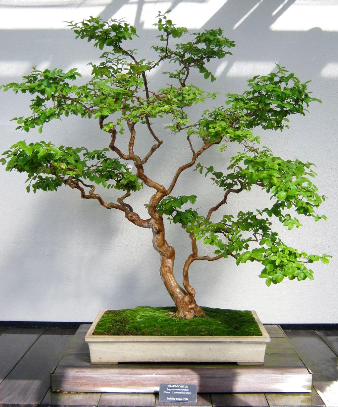 Plants  Bonsai Trees