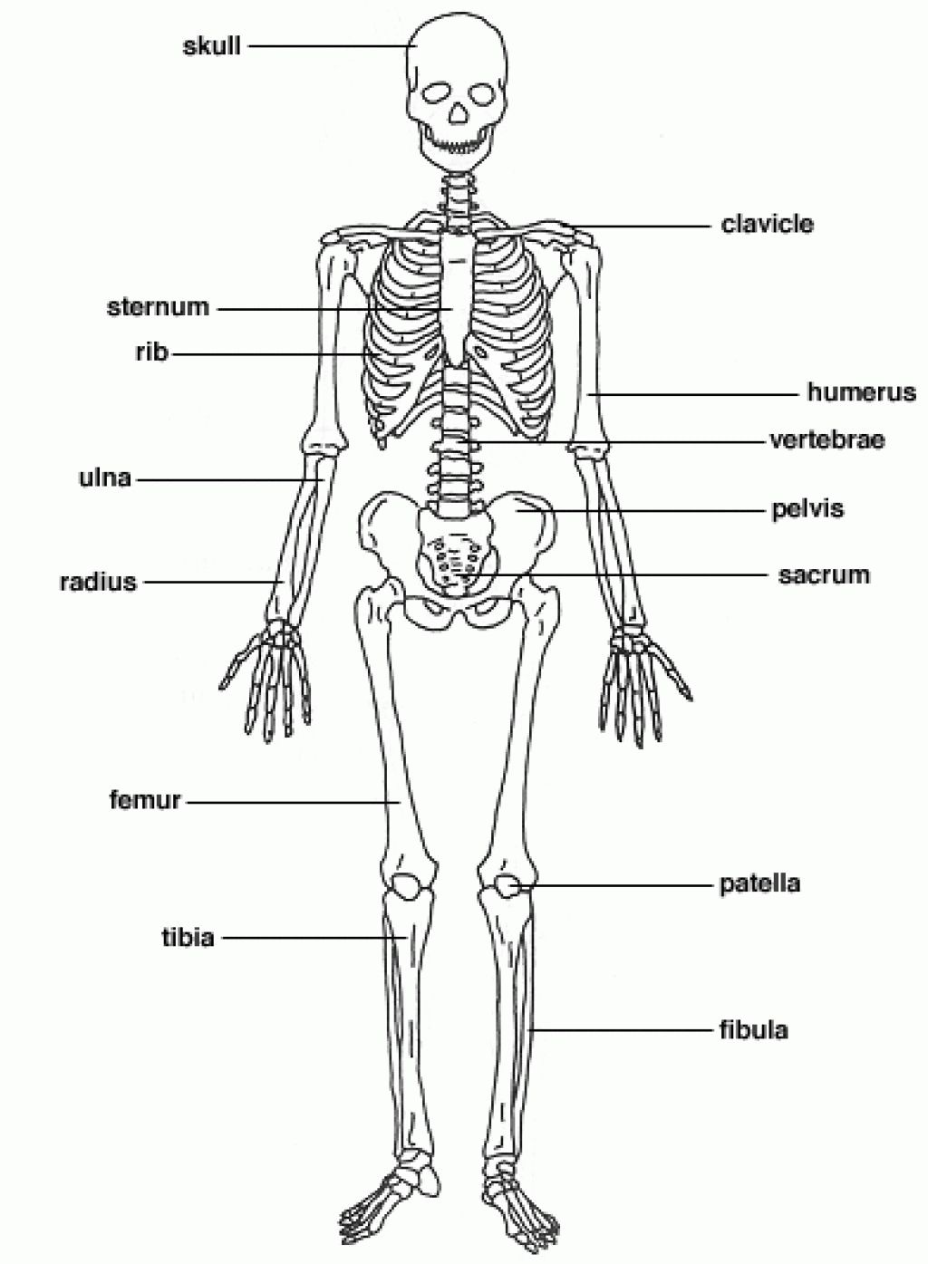 The Skeletal System Diagram Labeled