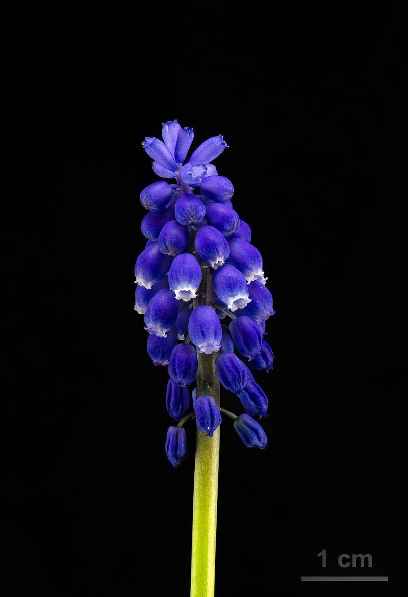 Grape Hyacinth Muscari Armeniacum Traubenhyazinthe 01 Muscari Armeniacum Wikipedia The Free Encyclopedia Muscari Houseplants Blue Flowers