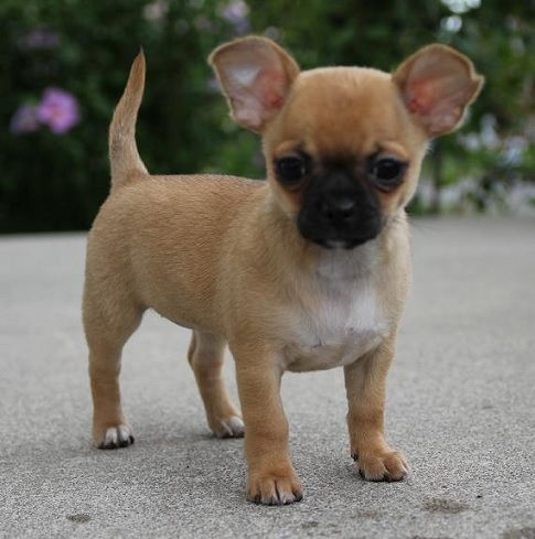 Pug Chihuahua Chug With Images Dog Crossbreeds