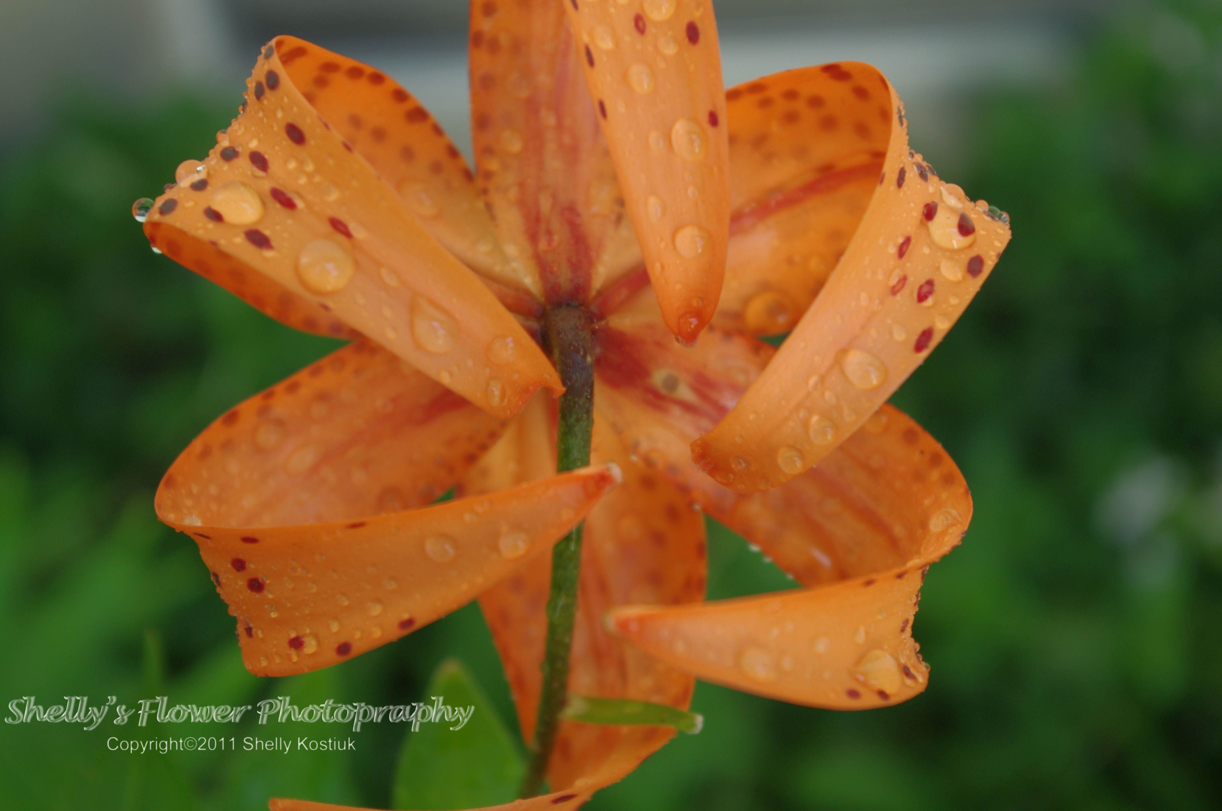 Rain on a the backside of a lily love taken photos of flowers rain on a the backside of a lily love taken photos of flowers after it rains izmirmasajfo