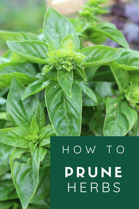 How to Prune Herbs – Herb garden design