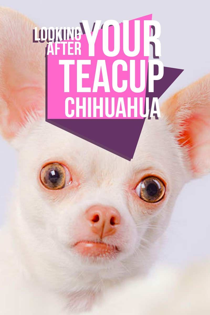 Teacup Chihuahua Pros And Cons Of The World S Tiniest Dogs