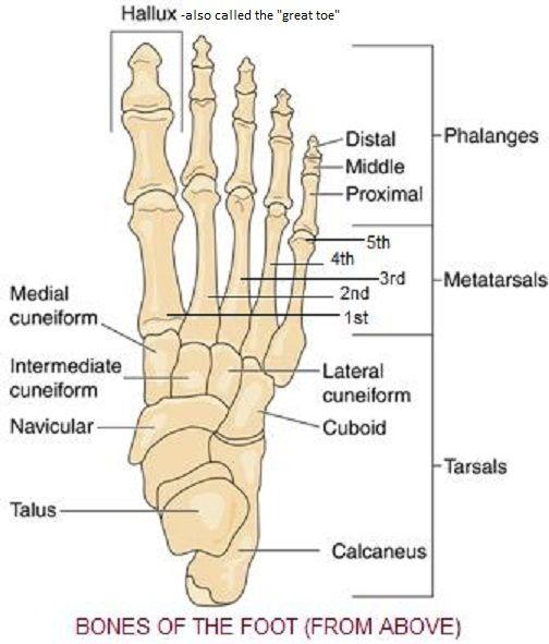 Skeletal System Diagrams School Ap Injury Pinterest