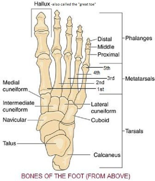 Skeletal System Diagrams Anatomy Pinterest