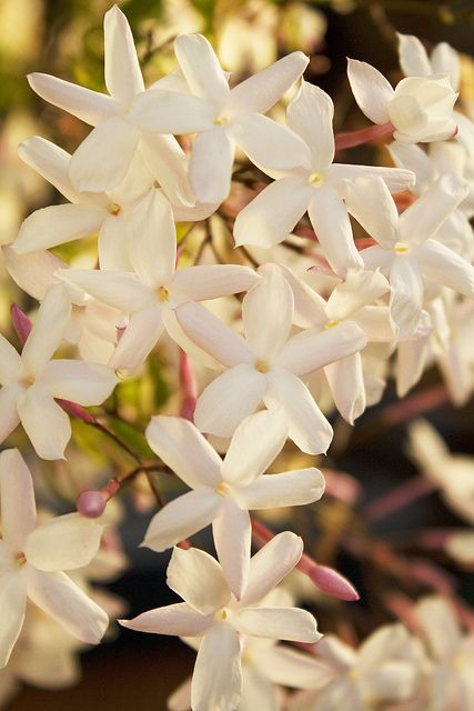 Favorite Flower With Wonderful Scent Jasmine Plants Flowers
