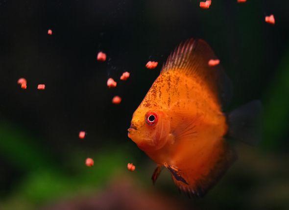What Do Fish Eat In 2020 Freshwater Fish Fish Pet Paradise