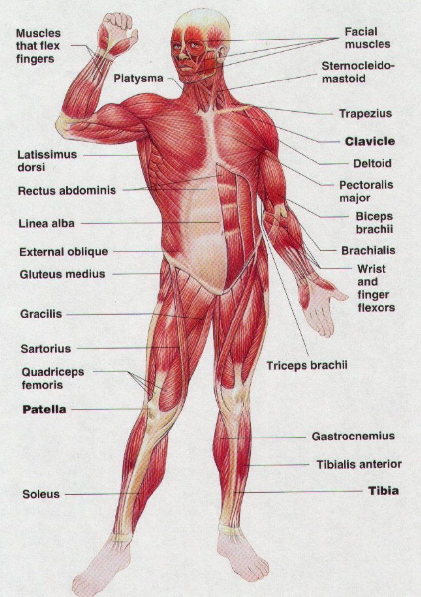 muscles-body-diagram | www.aireurbano | human anatomy organs, Muscles