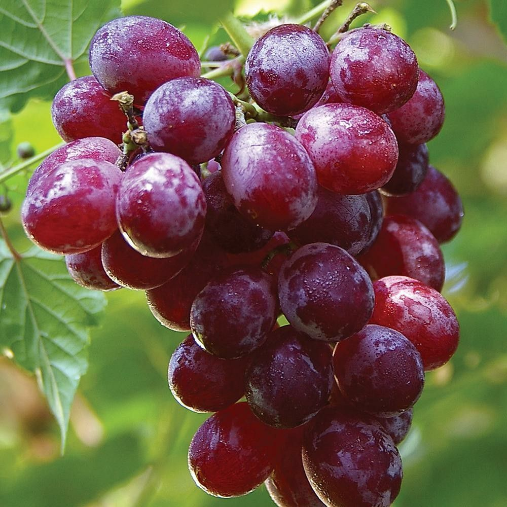 Pin By Hunny Adam On Fruit And Food With Images Grape Plant Grapes Catawba Grapes