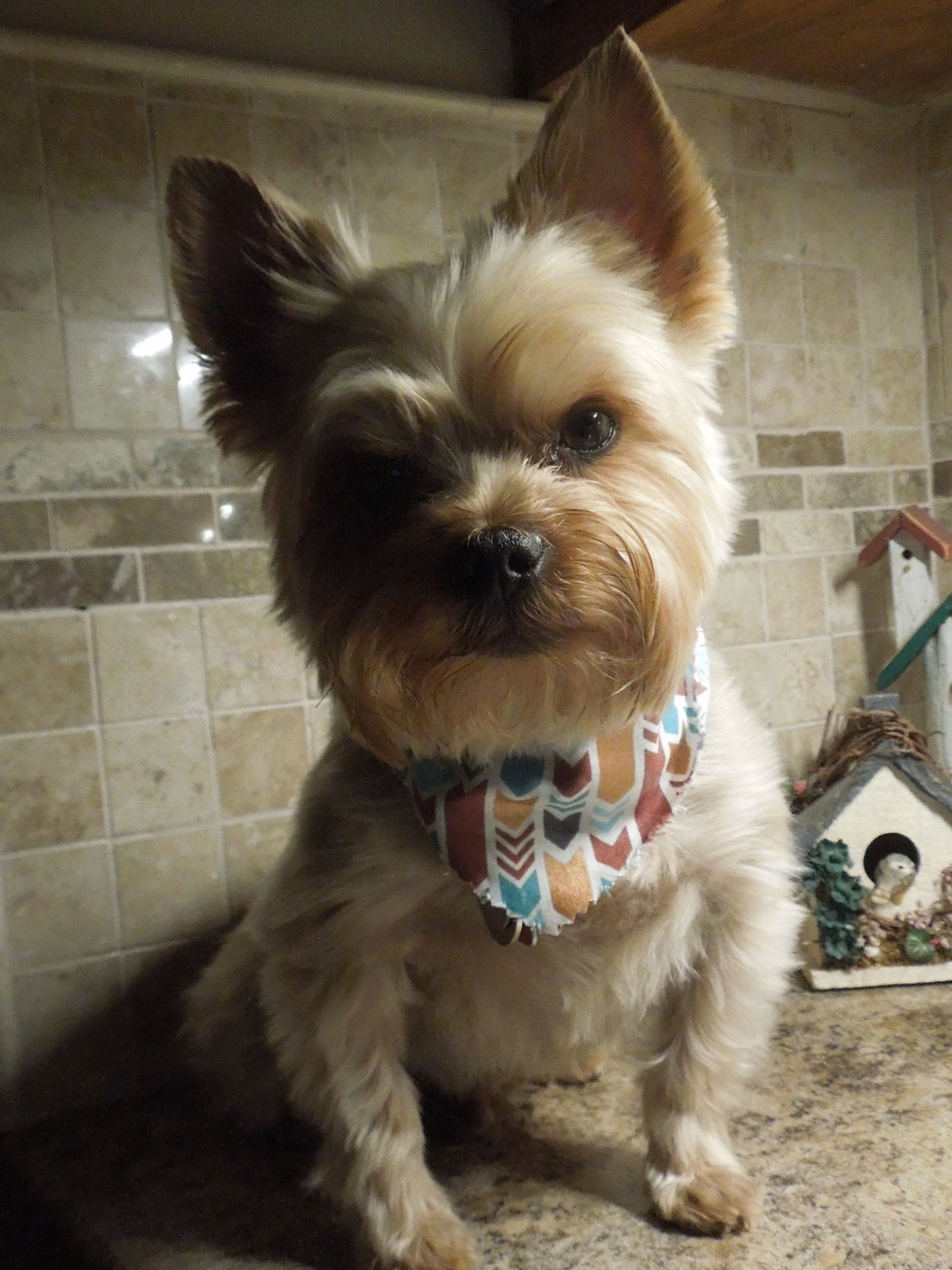 Our Sprout At 5 Years Yorkie Yorkshire Terrier Yorkshireterrier