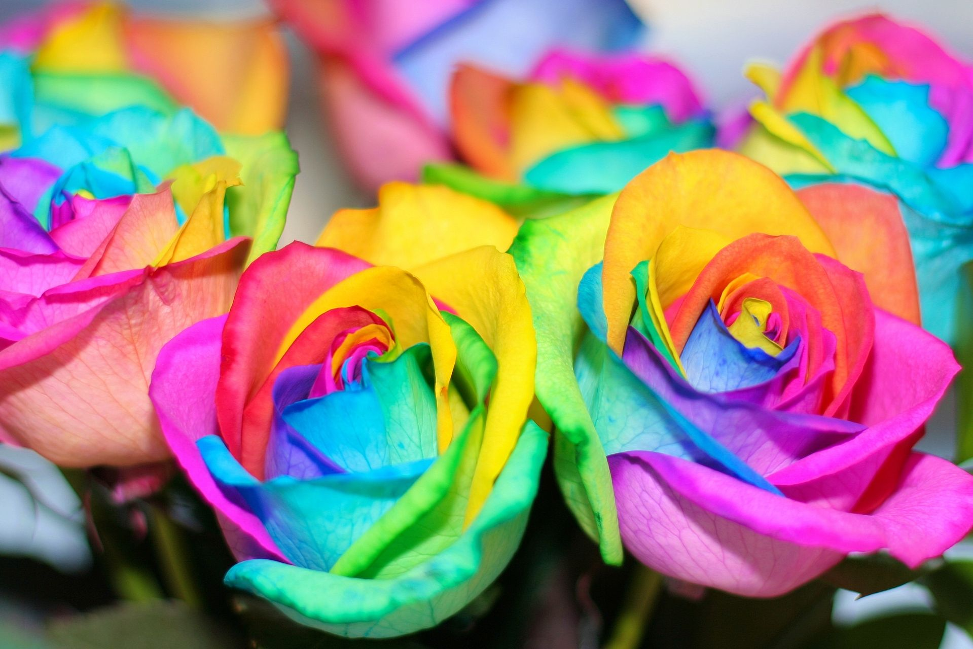 Rainbow Colored Roses Ogq Backgrounds Hd With Images Rainbow