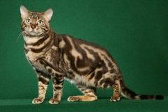 Seal Sepia Snow Leopard Bengal Cat They Have Green Or Gold Eyes Genetically Two Copies Of The Burmese Gene Bengal Cat Spotted Cat Bengal Cat For Sale