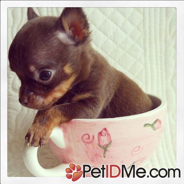 Chihuahua Puppies, Teacup