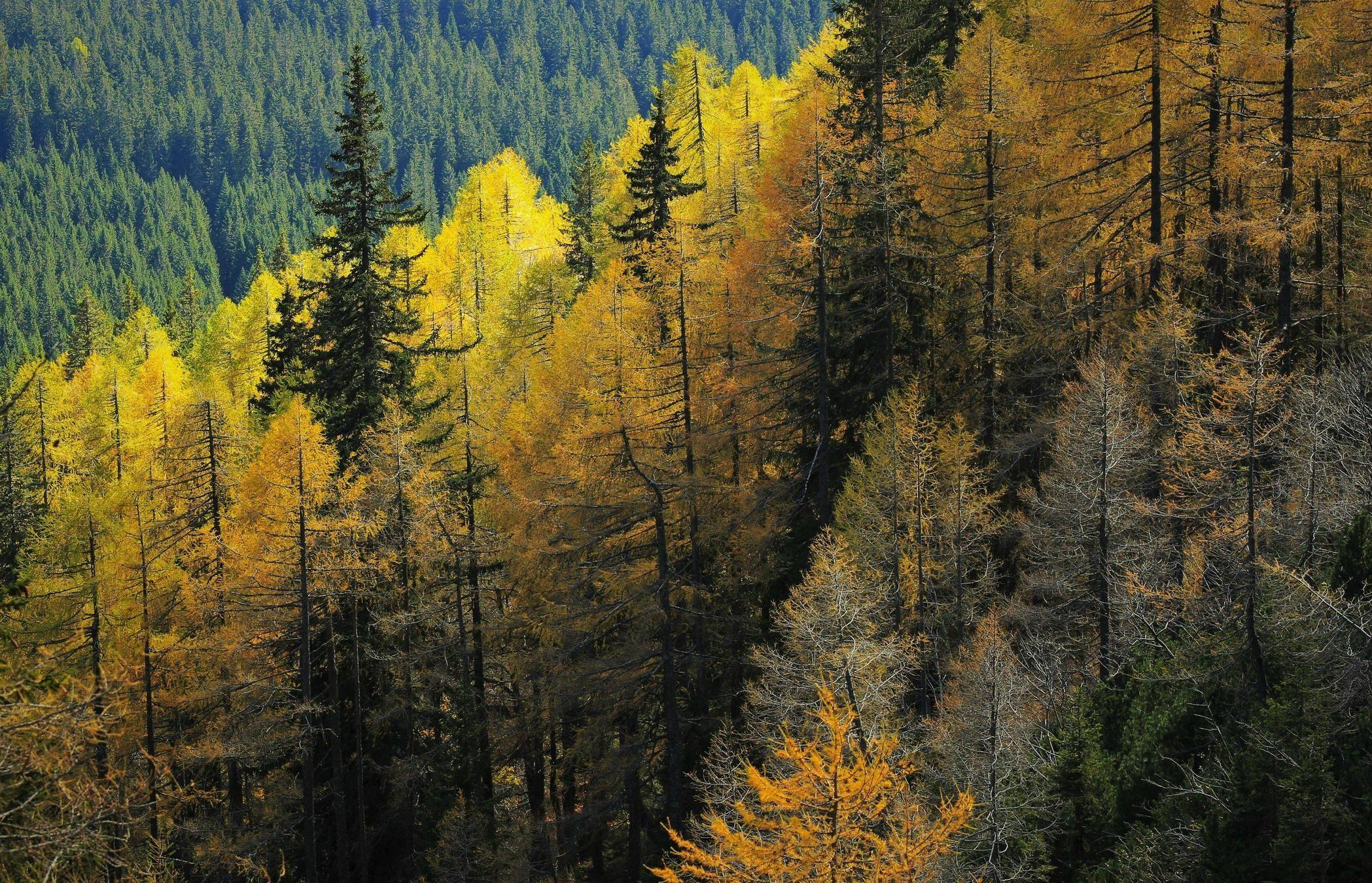 Autumn colours in coniferous forest of Pokljuka Julian Alps [OC] [2097x1350]